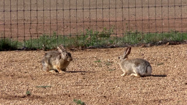 Cottontail Rabbit Face Off video