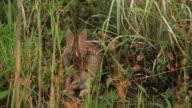 Cottontail Rabbit video