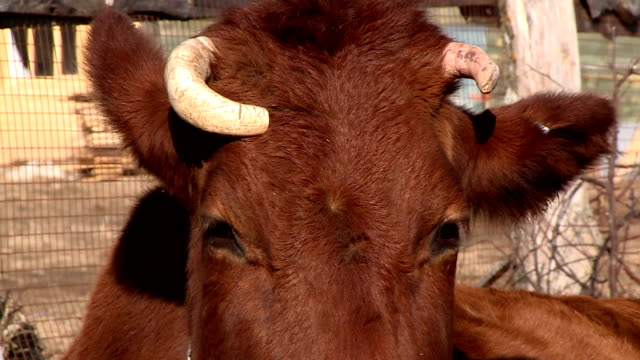 Countryside. Brown cow with curved horns. Close-up. video
