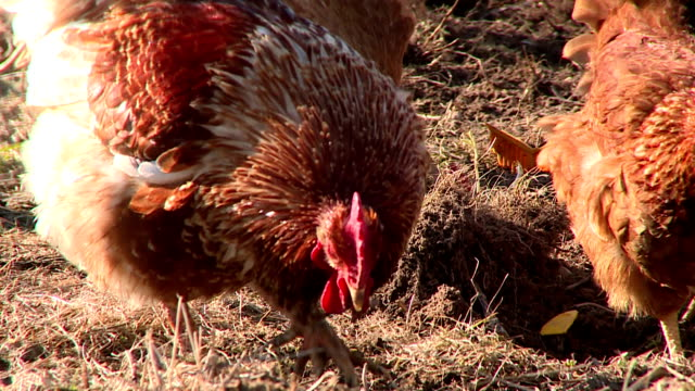 Countryside. Chicken on the farm. video