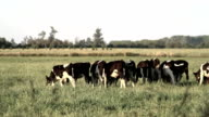 Countryside Grazing Cows video