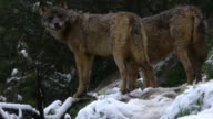 couple Iberian wolves video