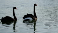 Couple of beautiful swans. video