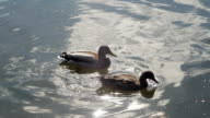 Couple of duck video