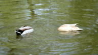 couple of ducks at lunch video