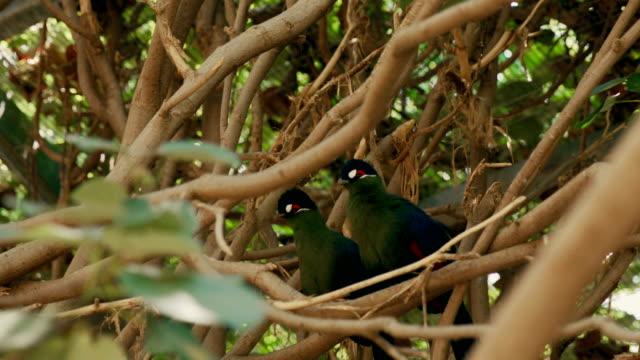 Couple of exotic birds video
