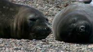 Couple of fur seals video