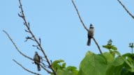 couple of red-whiskered bulbul is resting video