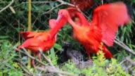 Couple Of Scarlet Ibis Birds Feeding Babies video
