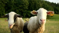 CLOSE UP: Couple of sheep looking into camera on pasture video