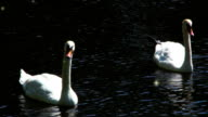 Couple of swans in the lake video