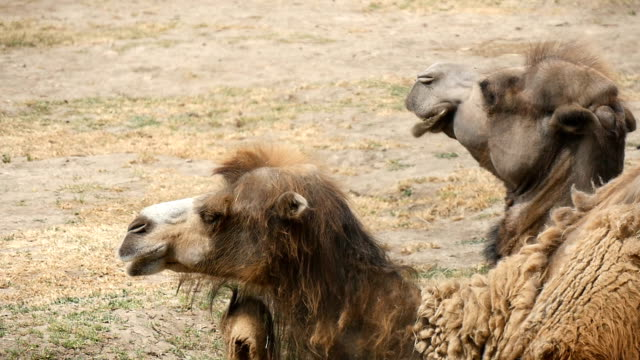A couple of two humped camels lying on the soil in zoo in summer in slow motion video