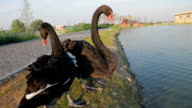 Couple swans. video