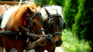 couple, two horses together video