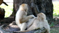 Couples of white handed Gibbon video