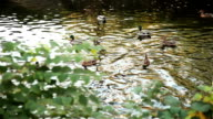 A covey of wild duck is in the river video