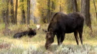 Cow and Bull Moose in the Rut video