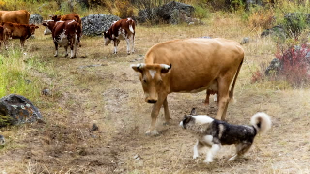 Cow and dog on pasture video