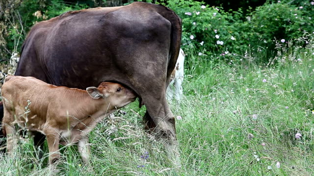 Cow and her calf in a field video