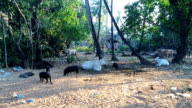 cow and pigs are grazed in road roofing felt. India video