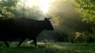 Cow at deep forest in sunrise video