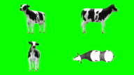 Cow Chewing Green Screen (Loopable) video