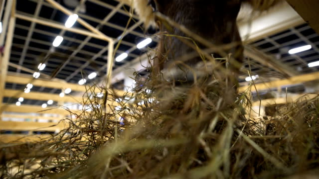 Cow chewing hay. Close-up video