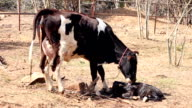Cow cleaning her newborn video