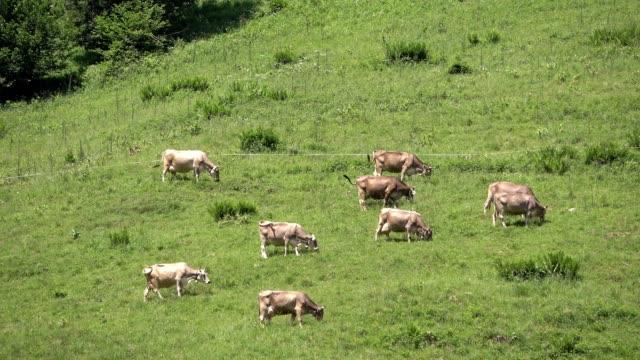 Cow, cow herd, meadow, alps, eating, gras, alps, allgäu, allgäuer Alpen, 4K video