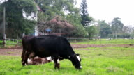 cow eating grass in farm video