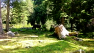 Cow eating grass in the forest video