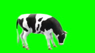 Cow Eating Green Screen (Loopable) video