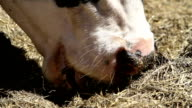 cow eating silage close up video