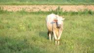 cow eats grass video