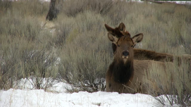 cow elk in the sage brush. video