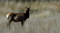 A cow elk stands in field video
