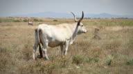 Cow from Italian Maremma video