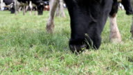 cow grazing close up video