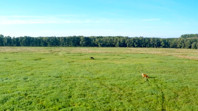 AERIAL: Cow Grazing on a green meadow video
