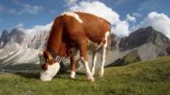 Cow Grazing on Italian Dolomites video