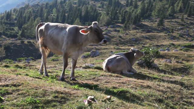 Cow grazing video