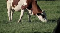 cow group video