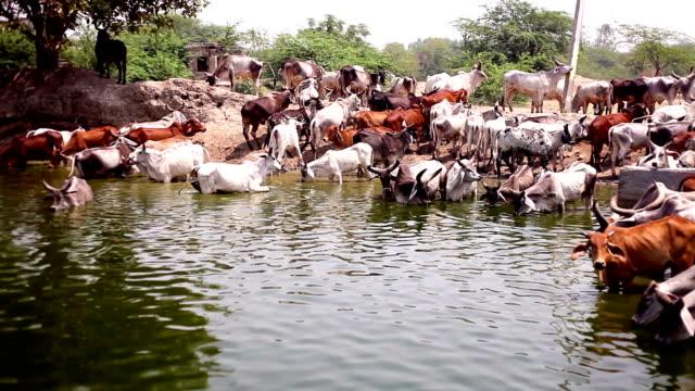 Cow herd drinking water video