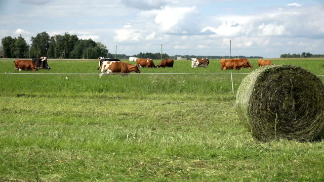 cow herd graze in private pasture. In front haystack roll video