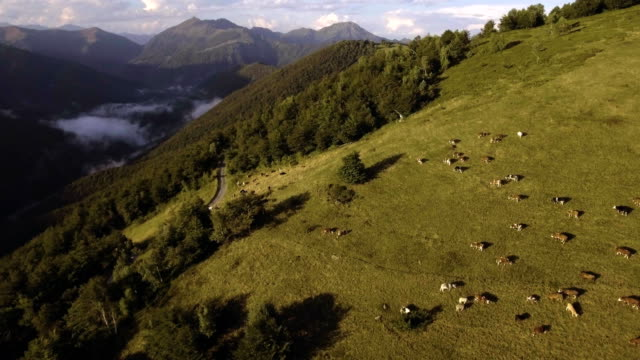 cow herd grazing in wood forest mountain pasture during summer sunny day  4k aerial drone forward flight wide establishing sho video