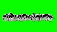 Cow Herd Green Screen (Loopable) video