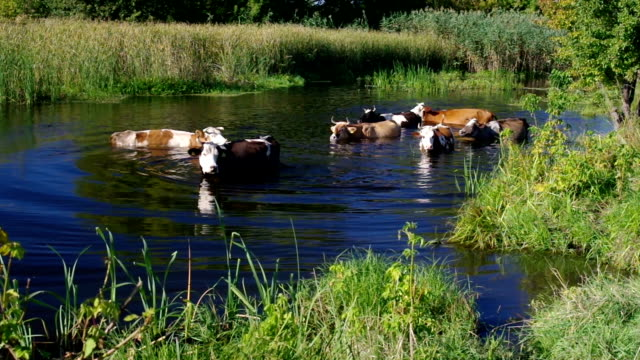 Cow herd having water treatment in summer Ukrainian river Merla video