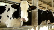 Cow in a stable looking at the camera during milking time video
