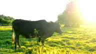 cow in rice field after harvest with blue sky video