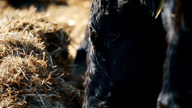 A cow is eating hay video
